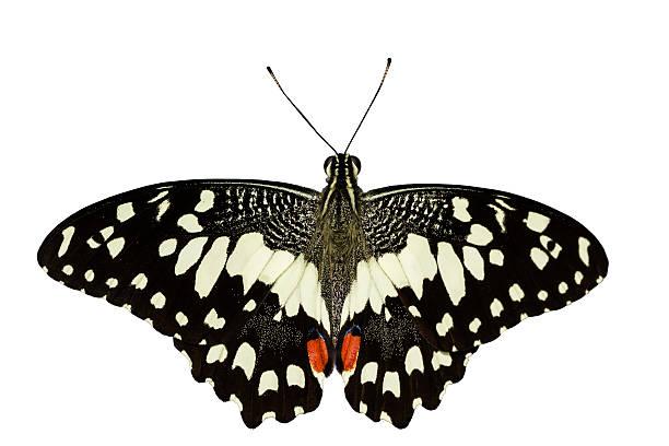 Lime butterfly picture id467034493?b=1&k=6&m=467034493&s=612x612&w=0&h=nyetzi0zum5dzhzavebhfqhpgji ekxex3jirvyxhrw=