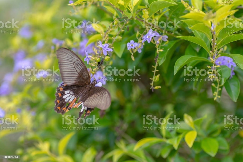 Lime Butterfly sucking nectar from yellow flowers . royalty-free stock photo