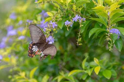 Lime Butterfly Sucking Nectar From Yellow Flowers Stock Photo - Download Image Now