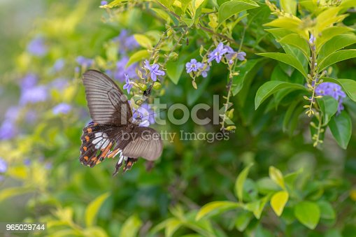 Lime Butterfly Sucking Nectar From Yellow Flowers Stock Photo & More Pictures of Animal