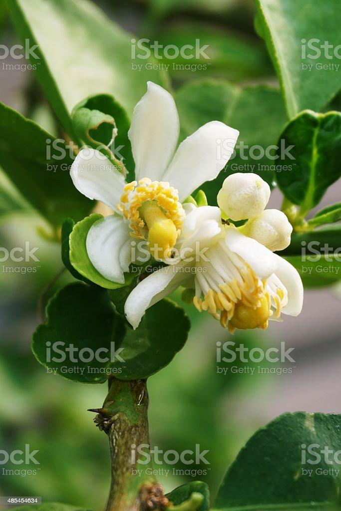lime flower stock photo