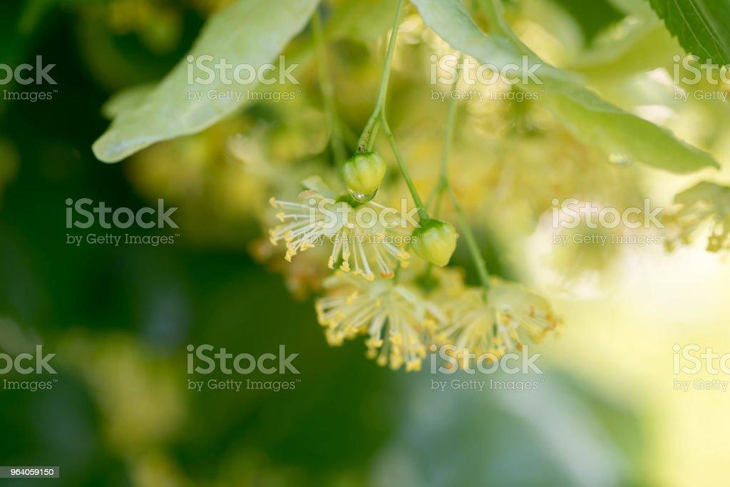 lime flowers macro - Royalty-free Aromatherapy Stock Photo
