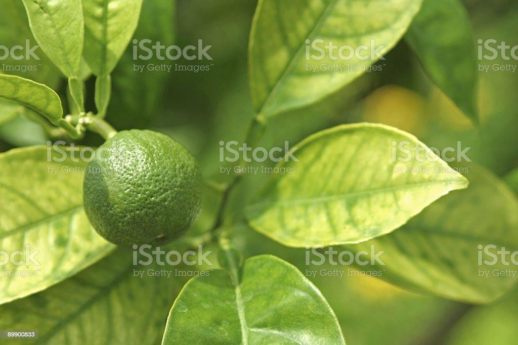 Лайм фрукты на дереве Стоковые фото Стоковая фотография