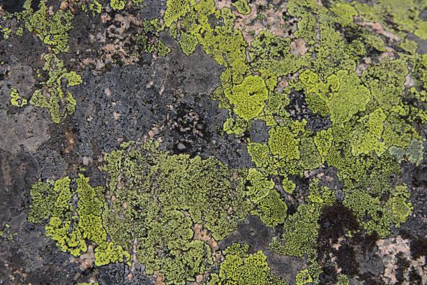 Lime green lichen stock photo