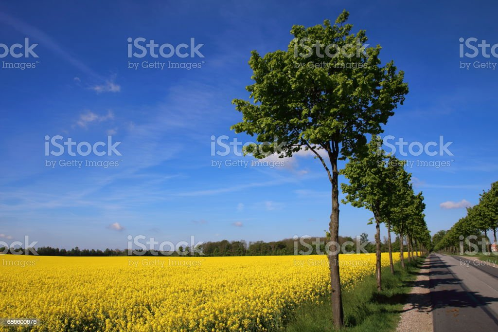 Lime tree alley at springtime with oil seed rape field royalty-free stock photo