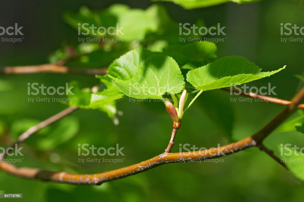 lime tree green leaves stock photo