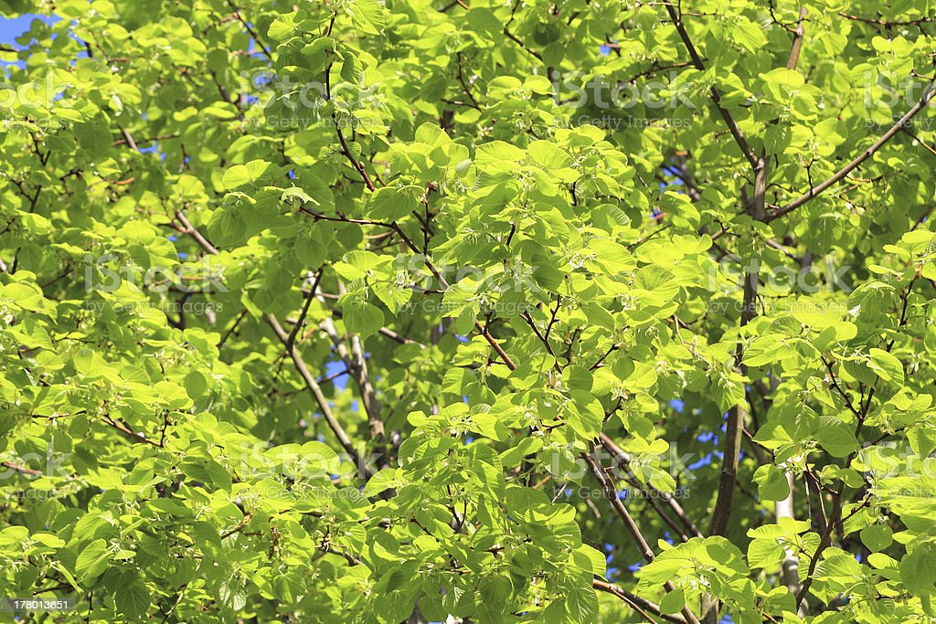 lime tree in spring royalty-free stock photo