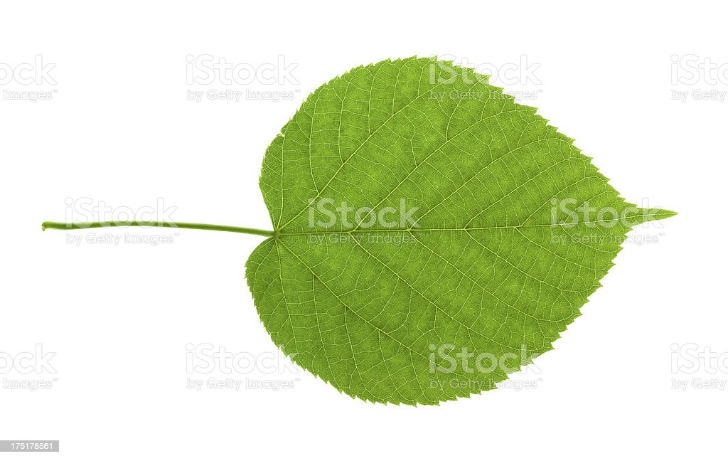 Lime tree leaf royalty-free stock photo