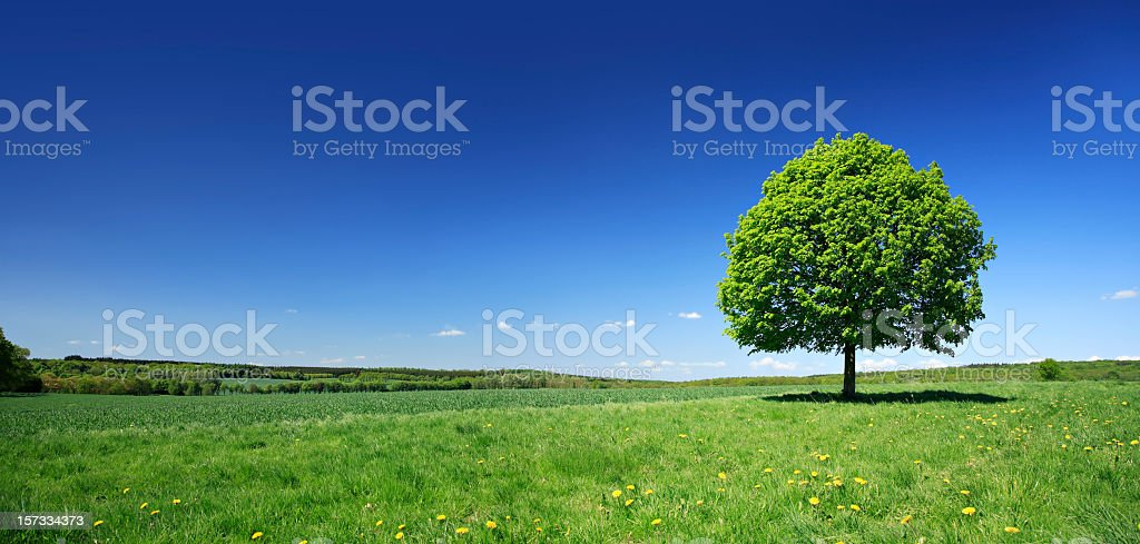Lime Tree on Dandelion Meadow in fresh colourful spring landscape stock photo