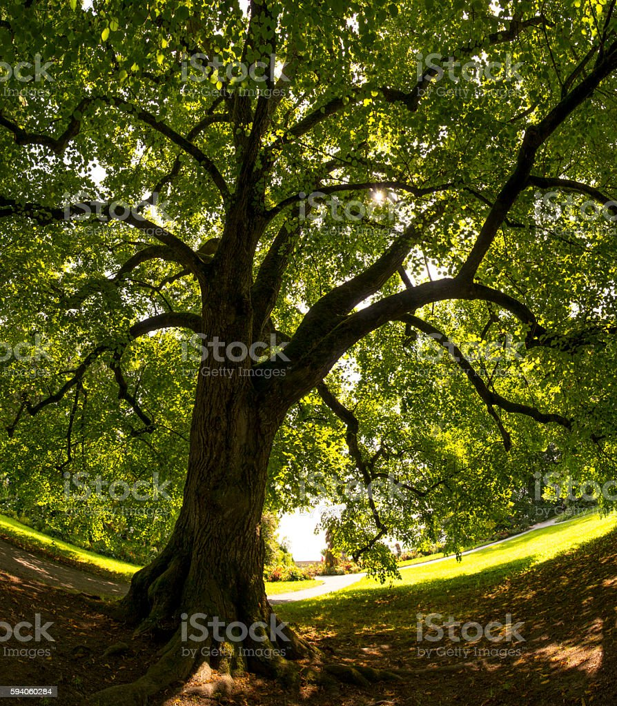 Lime tree or Tilia cordata on summer morning, wide-angle-panoramic (frog's-eye-view). stock photo