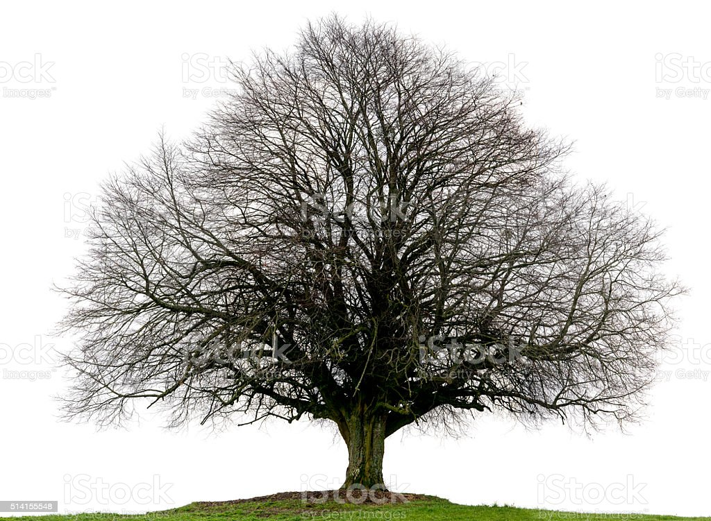 Lime tree or Tilia_cordata in winter isolated on white background. stock photo