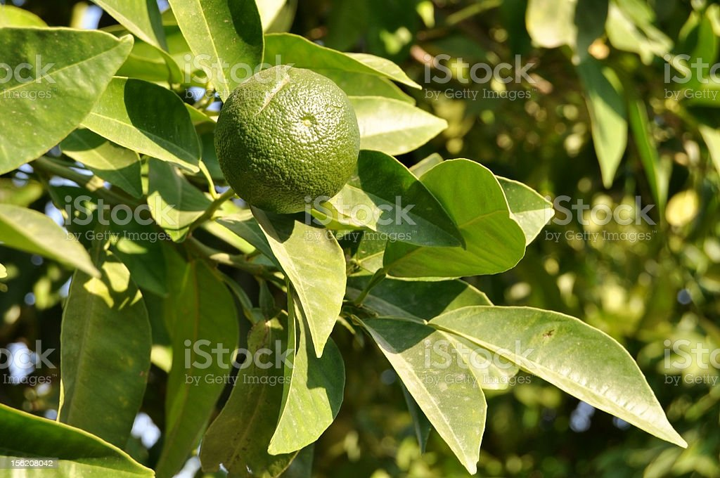 lime tree royalty-free stock photo