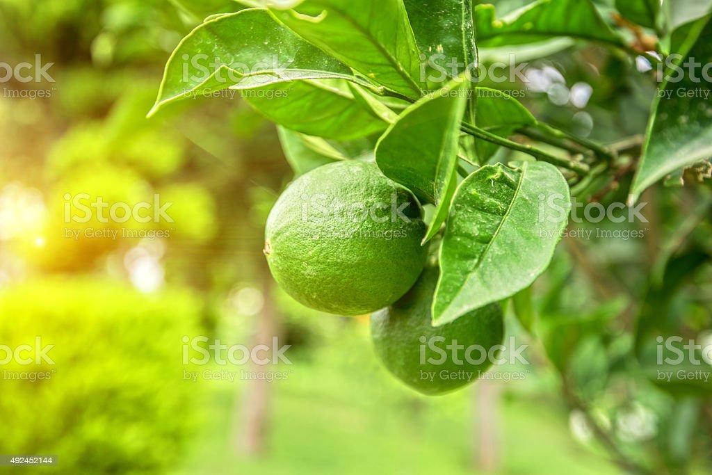 Lime tree – Foto