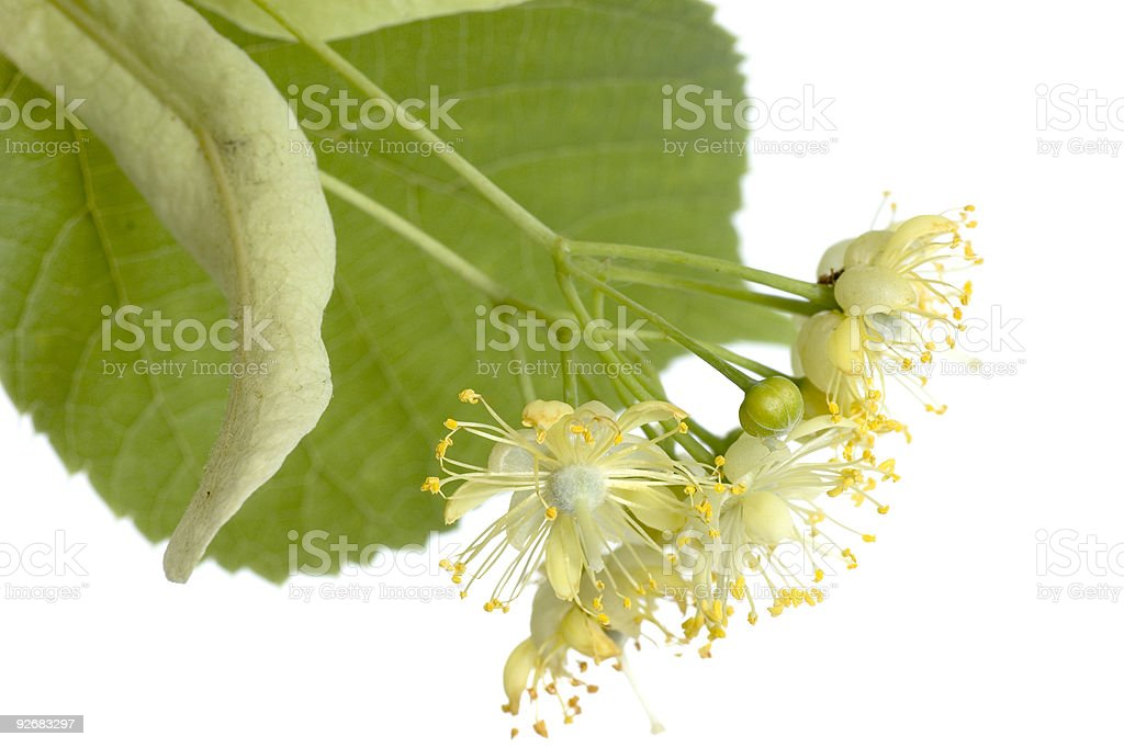 Lime(Linden) tree royalty-free stock photo