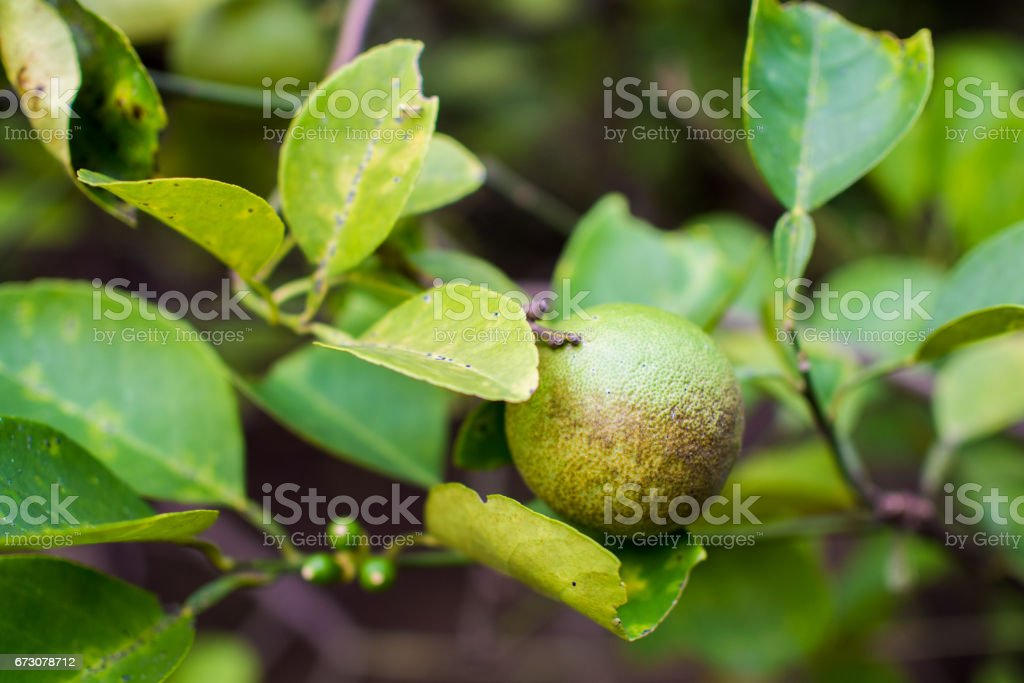Lime Tree with Infected Fruit stock photo