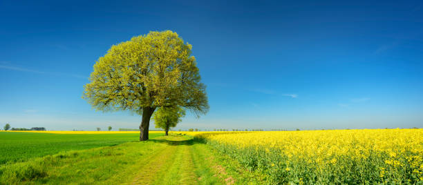 Lime Trees along Farm Track through Fields of Rapeseed and Wheat under Blue Sky in Spring stock photo