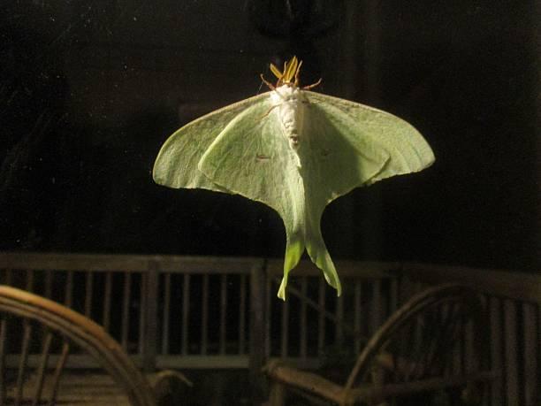 Lime-Green Luna Moth on Window Glass at Night stock photo