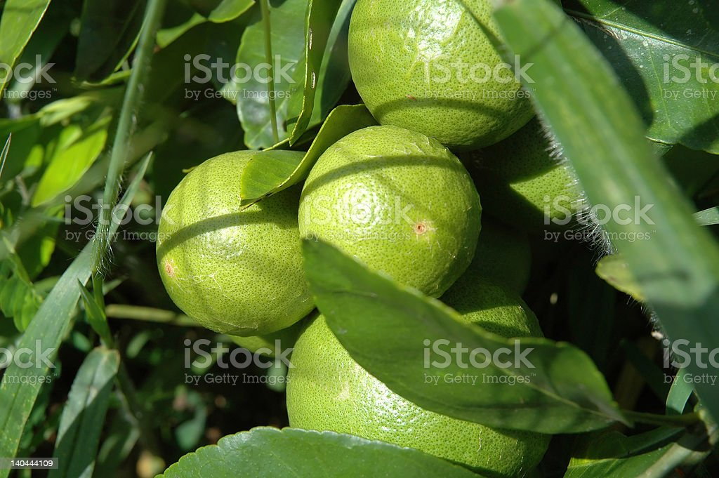 Limes of the Jungle stock photo
