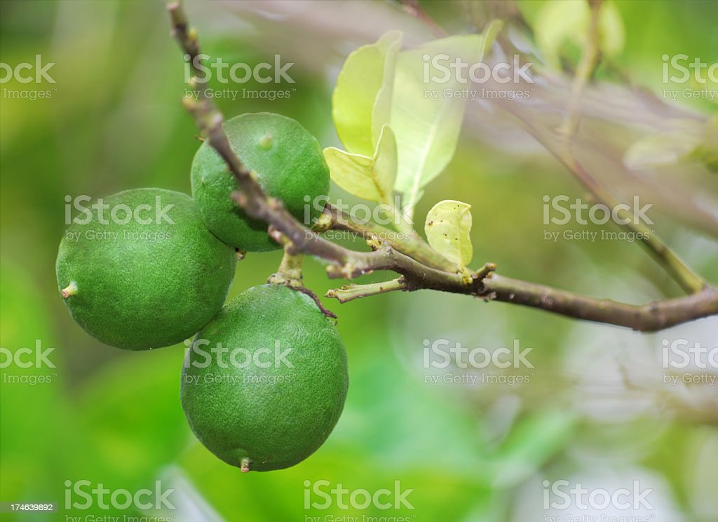 Limes on branch stock photo