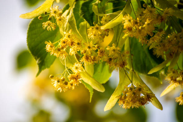 lime-tree blossom in summer stock photo