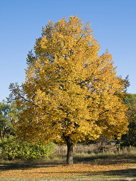 Cтоковое фото Лайм-дерево