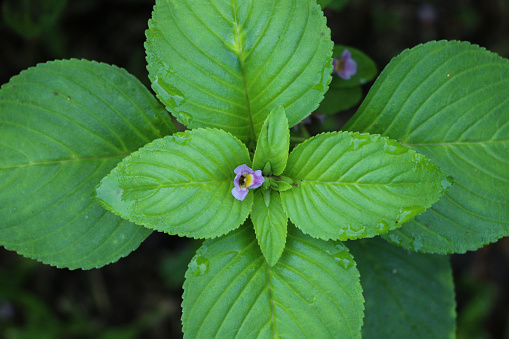 Limnophila Rugosa At Garden Stock Photo - Download Image Now - iStock
