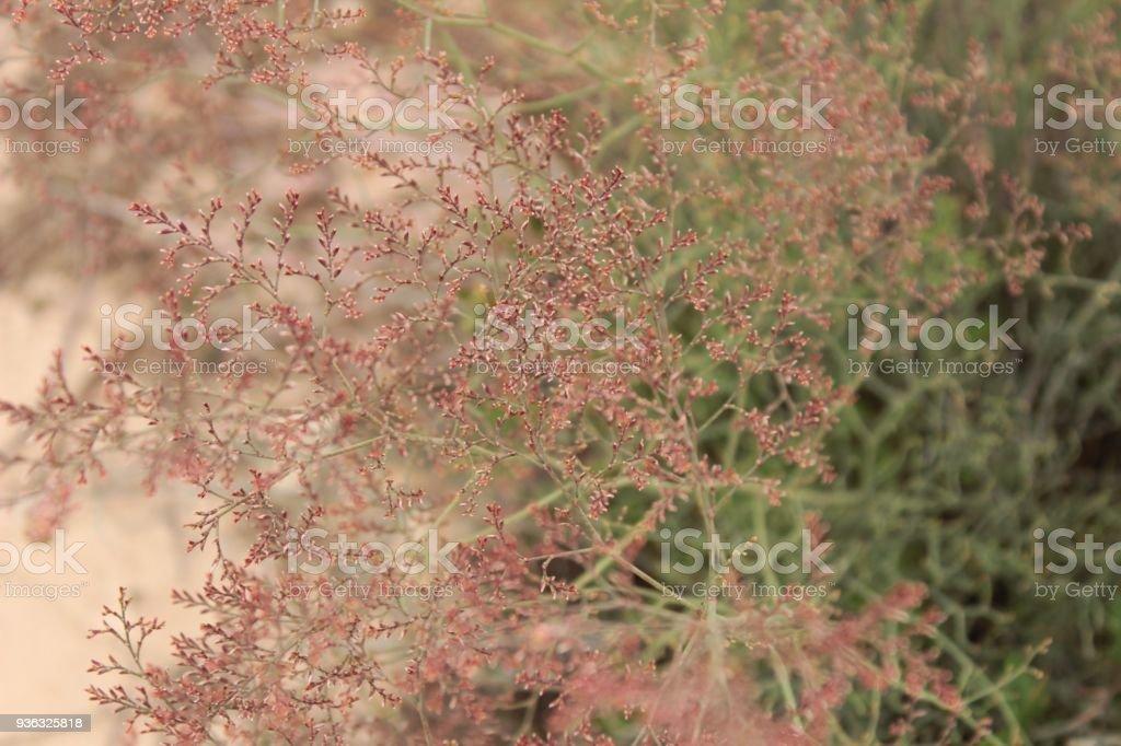 Limonium santapolense plant stock photo