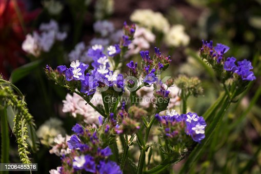 Limonium (Plumbaginaceae) - small white and blue summer flowers grow in the garden, pink dahlia in the background