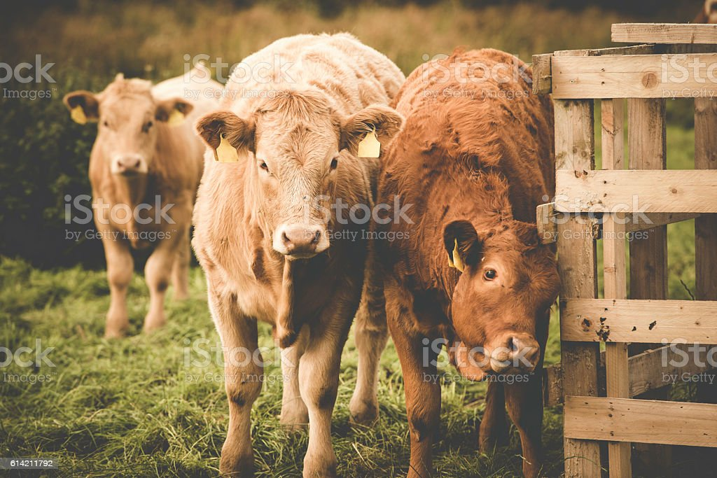 Limousine cows in Ireland stock photo
