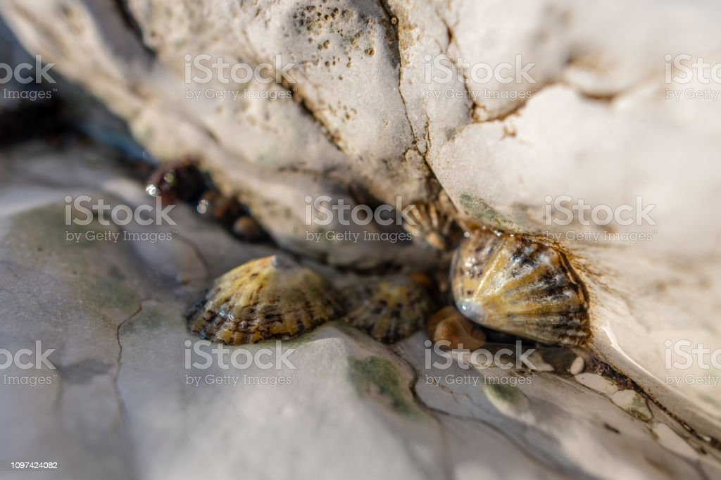 Limpets on chalk rocks stock photo