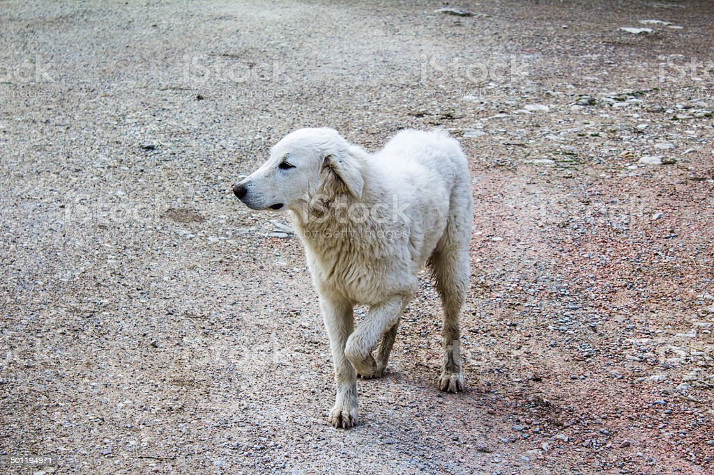 limping sheep dog on a stony ground stock photo