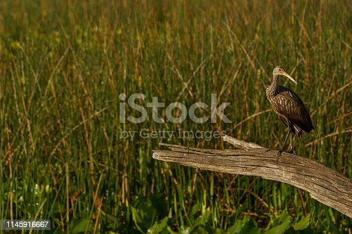 The beautiful limpkin in the natural surroundings of Orlando Wetlands Park in central Florida.  The park is a large marsh area which is home to numerous birds, mammals, and reptiles.
