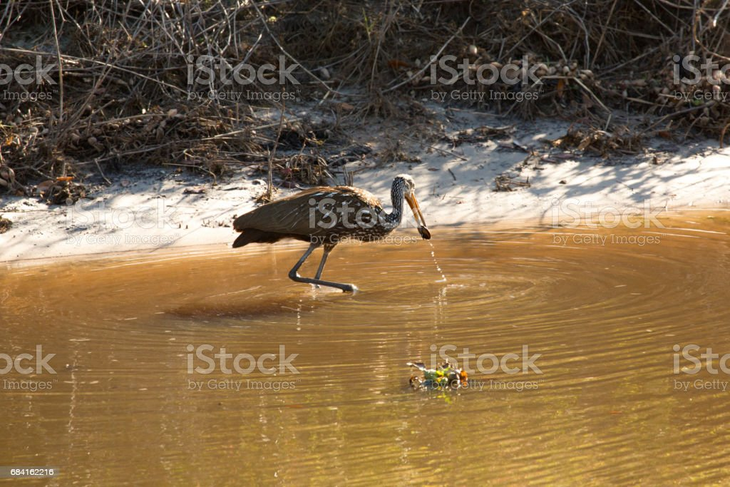 Limpkin wading along canal in Lake Kissimmee Park, Florida. royalty-free stock photo