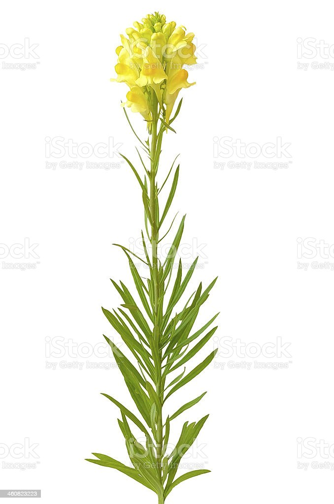 Linaria flower stock photo