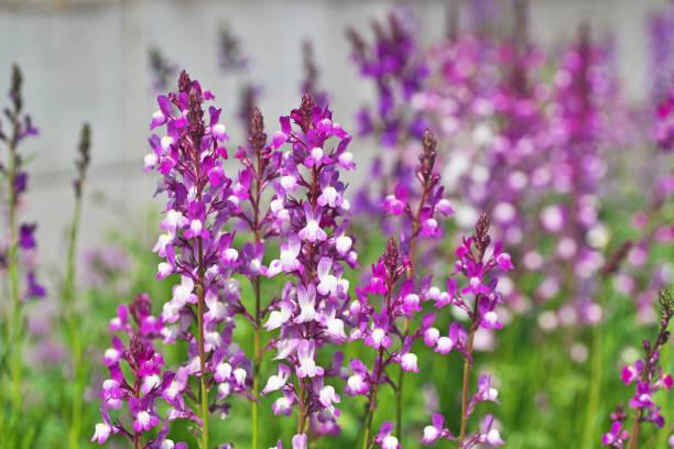 Linaria purpurea – Foto