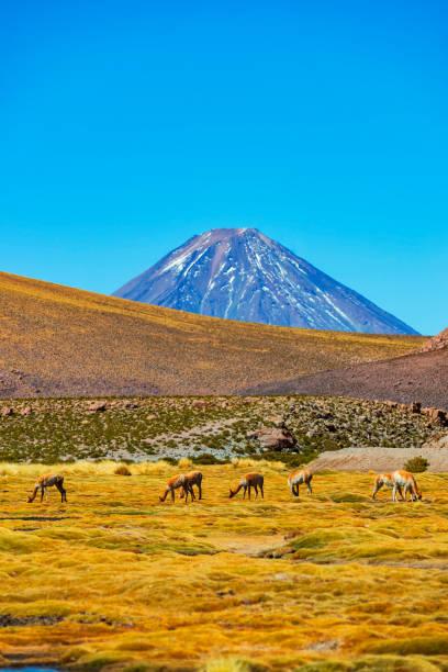 Vulkan Lincabur-Andes Hills-Atacama-Wüste-Chile-Vicunas grasen auf einer Wiese – Foto