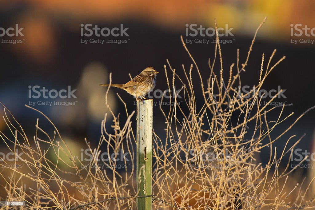 Lincoln's Sparrow royalty-free stock photo