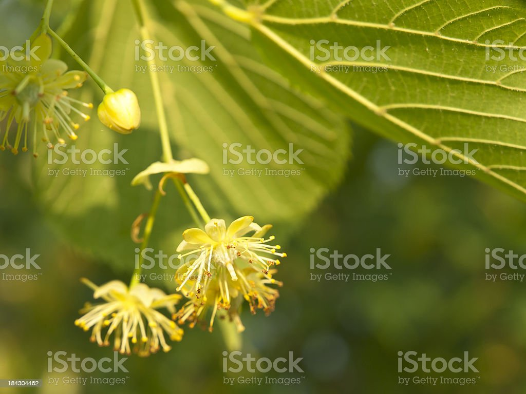 Linden blossom royalty-free stock photo