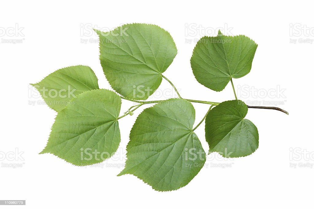 linden branch royalty-free stock photo