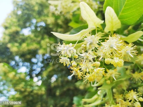 Linden flower on a lime tree (Tilia genus) in spring.