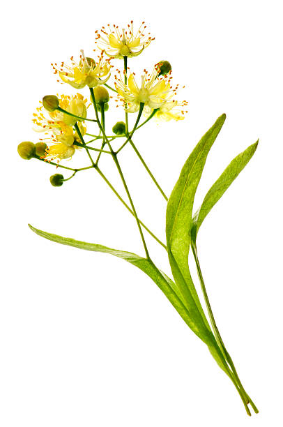 Linden Blume – Foto