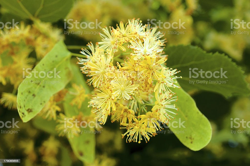 Linden flower royalty-free stock photo