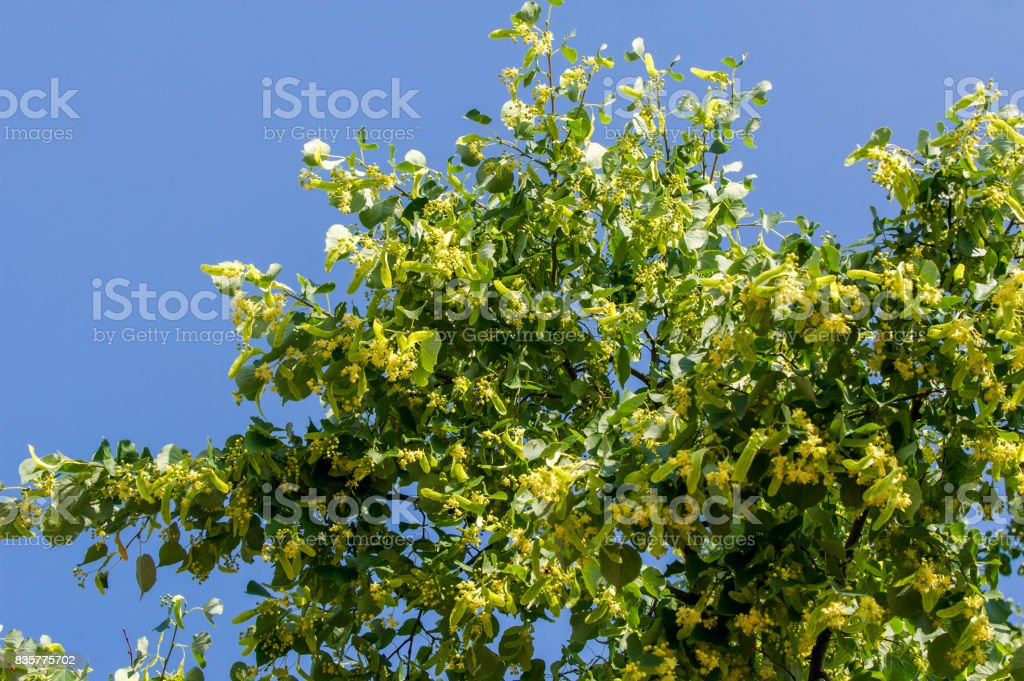 linden flowers. Soft focus. blossoming linden branch in june day.  a deciduous tree with heart-shaped leaves and fragrant yellowish blossoms, stock photo