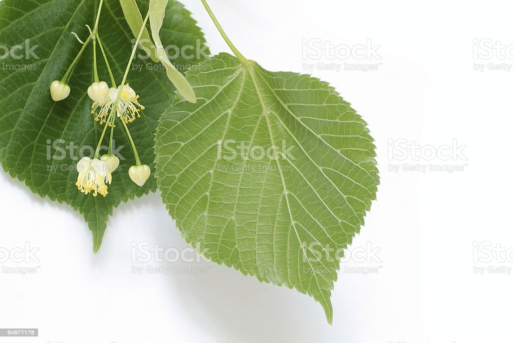 linden leaves close-up royalty-free stock photo