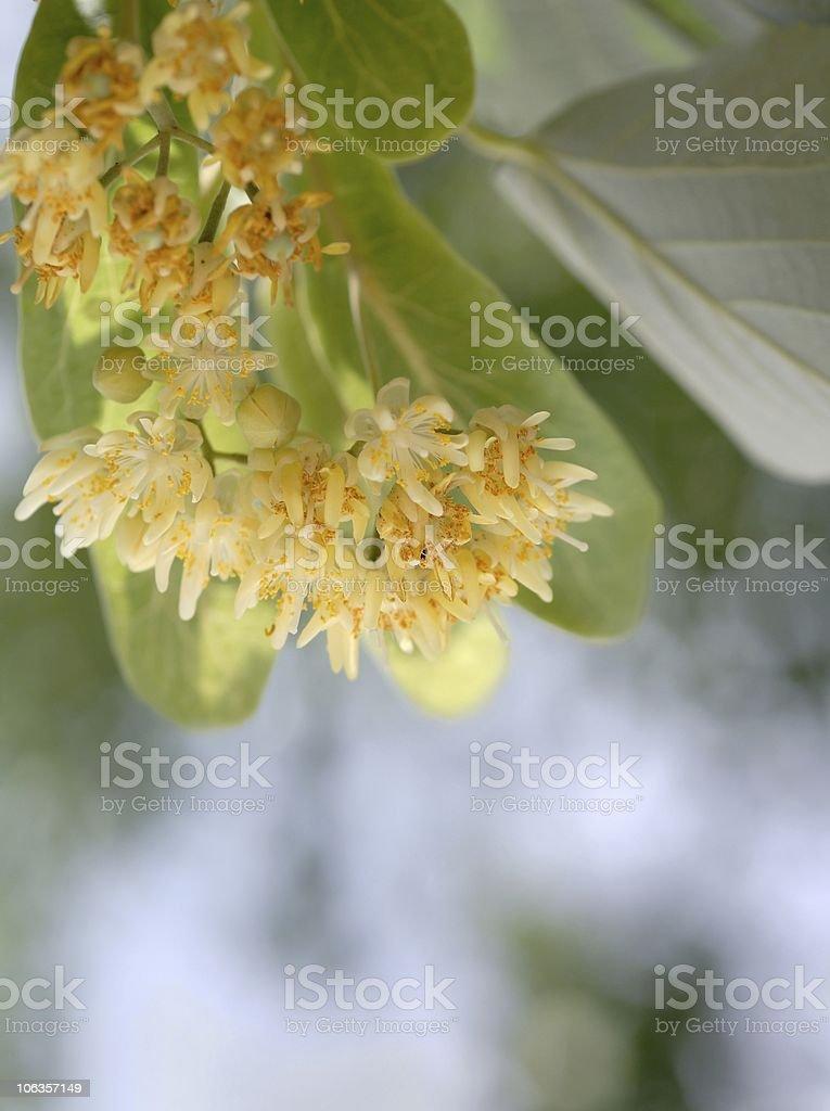 linden royalty-free stock photo