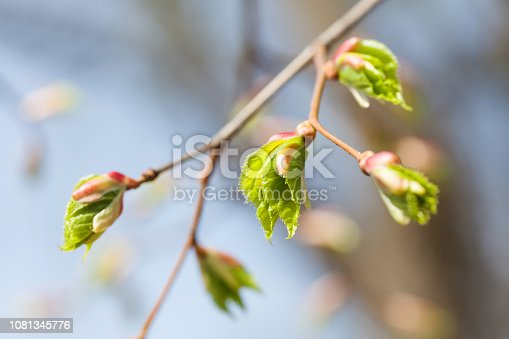 Linden tree branch with young fresh green leaves. Springtime in park landscape. Macro view shallow depth of field. Selective focus.
