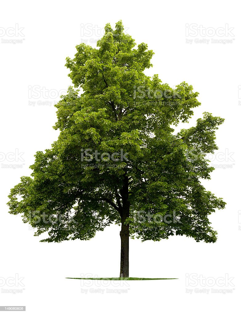 Linden Tree royalty-free stock photo