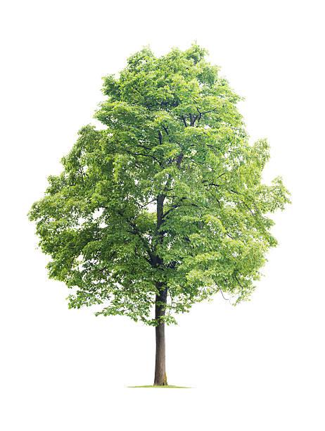 Linden Tree stock photo
