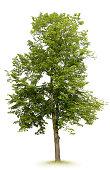 Linden Tree, Spring