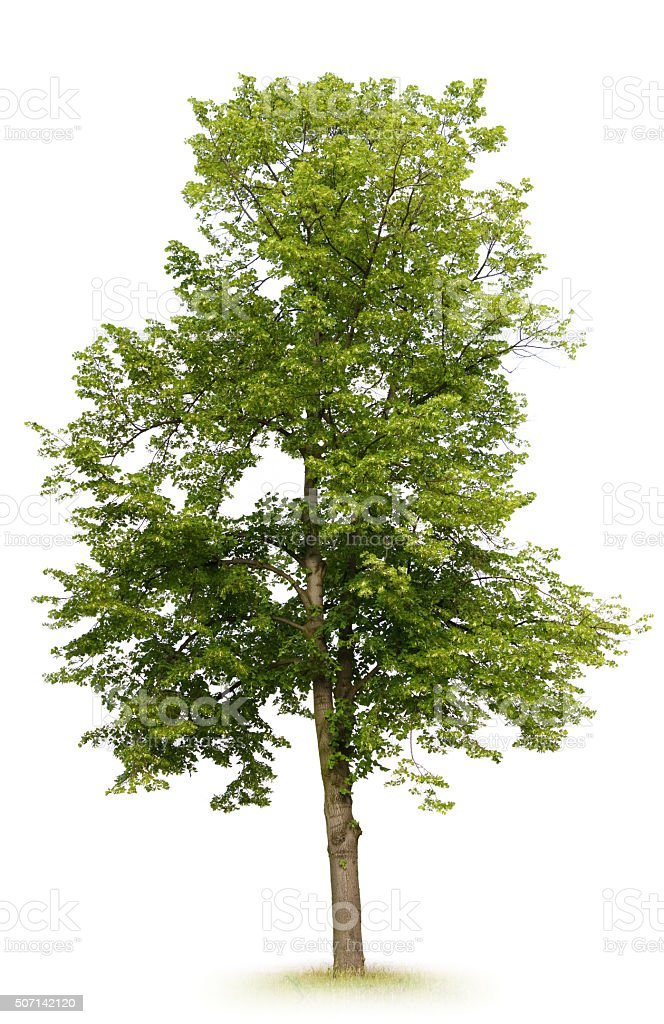 Linden árvore - foto de acervo